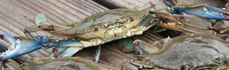 Blue Shell Crabs on planking
