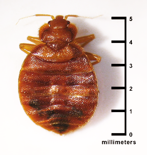 Shows that a bed bug is about five millimeters long.