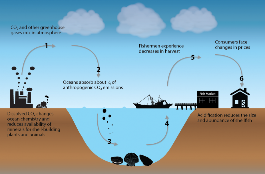 Infographic showing the impact pathway of ocean acidification, from release of CO2 and other greenhouse gases into the atmosphere to absorption of CO2 emissions into the oceans and resulting impacts on consumers.
