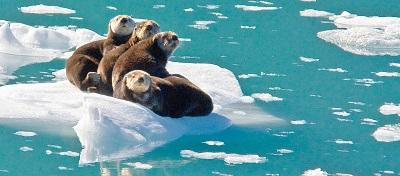 Sea otters on an ice berg.