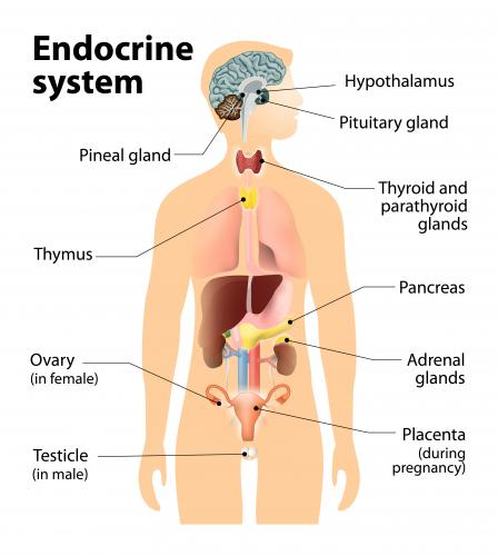 What is the Endocrine System? | Endocrine Disruption | US EPA