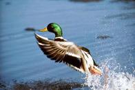 Photograph of a mallard, which illustrates wildlife and environmental areas for incident reporting.
